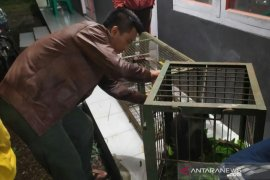 Surili tertangkap di Cianjur dibawa ke balai penangkaran untuk rehabilitasi