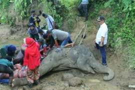 Gajah betina di Kebun  Binatang Medan mati pascasakit