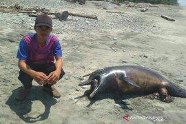 Seekor lumba-lumba sepanjang 5 meter mati terdampar di Bengkulu