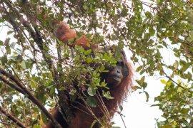 BKSDA Kalbar-IAR Indonesia selamatkan orang utan dari dampak tambang ilegal