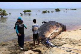 Paus sperma terdampar dan mati di Rote