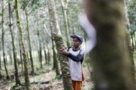 Penyakit gugur daun karet di Sumatera Selatan terkendali