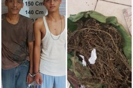 Operasi Antik Toba, Polisi Bahorok Langkat tangkap dua pemilik ganja