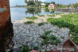 Kembali terjadi, kini 1,5 ton ikan siap panen mati di Danau Maninjau