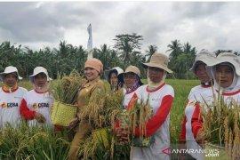 Produksi padi Kalbar 2019 capai 1,53 juta ton