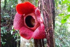 Rafflesia mekar menggantung di pohon di Kaur