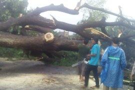 Pohon besar di Kediri tumbang diterjang angin kencang