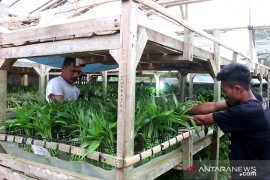 Tiga negara ini jadi pelanggan terbesar ekspor bunga dracaena dari Sukabumi