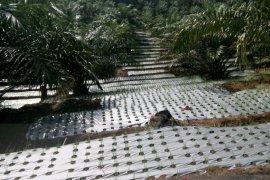 Distan Mukomuko bantu pengembangan tanaman pala