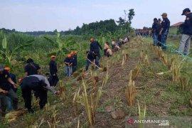 58.280 rumput vetiver ditanam di tanggul Sungai Cimanuk Indramayu
