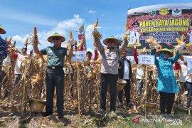 Tanam jagung tanpa olah tanah, hasil panen 12 ton