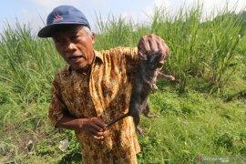 Petani Minggir Sleman berburu hama tikus