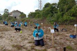 Jasa Raharja Babel tanam 100 bibit pohon cemara laut