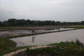 Seluas  lima hektare tanaman padi di Lebak diserang hama tikus