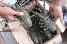 Menteri Edhy tegaskan  prioritas utama budi daya lobster dan bukan ekspor