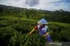 Target produksi teh jangka panjang