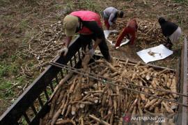 Target produksi ubu kayu Page 1 Small