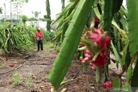 Merawat tanaman buah naga