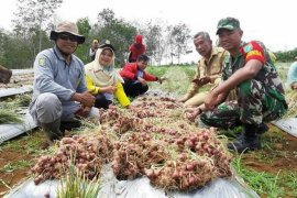 Babinsa dan masyarakat Sanggau Ledo panen perdana bawang merah