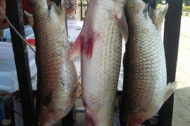Mukomuko berharap kerja sama konservasi ikan mikih