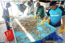 Bangka Belitung kirim 3,6 ton udang vaname ke luar daerah
