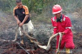 Ular piton berikut selusin telurnya mati akibat karhutla Riau