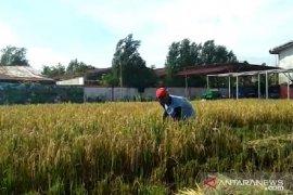 Produksi beras Kalbar tahun 2019 tercatat 499,01 ribu ton