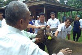 Bangka Tengah dorong peternak kembangkan bisnis daging sapi