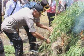 Kapolda Aceh pimpin pemusnahan ladang ganja di Gayo Lues
