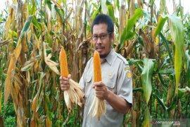 Balittra sukses bertanam jagung tanpa mengenal musim
