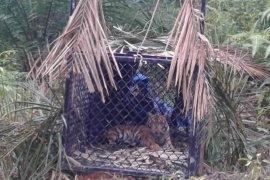 Seekor harimau sumatra masuk perangkap BKSDA di Aceh