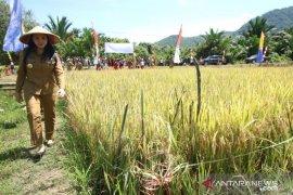 Petani di Landak diimbau lanjutkan menanam padi musim gadu