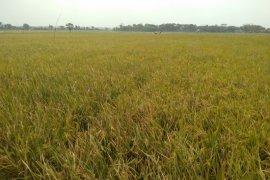 Karawang surplus beras hingga ratusan ribu ton tiap tahun