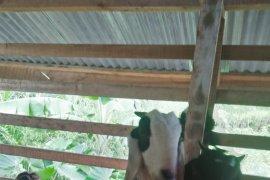 Pemkab Mukomuko kembangkan ternak kambing etawa