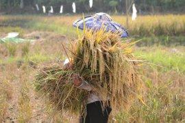 Petani Lebak, Banten, mulai  panen padi seluas 7.000 hektare