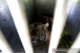 BKSDA Aceh Tangkap Harimau Sumatra