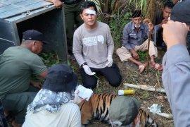 BKSDA akan lepas liarkan harimau ke TN Gunung Leuser