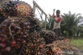 Harga TBS kelapa sawit di Abdya turun