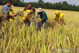 Kelangkaan pupuk, BPP Syamtalira Bayu kembangkan padi organik