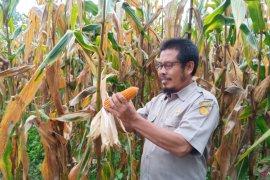 Balittra mengajak petani bertanam jagung di musim kemarau