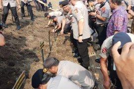 Tanggul Sungai Porong ditanami puluhan ribu batang rumput vetiver