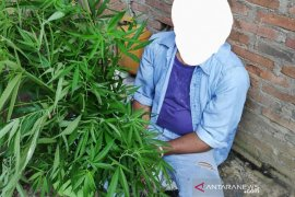 Pria Aceh Utara ini diciduk karena tanam ganja di belakang rumahnya