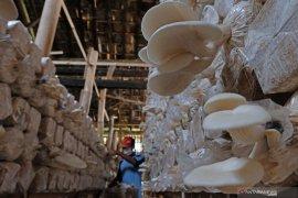 Pelaku usaha jamur tiram di Kabupaten Lebak tumbuhkan ekonomi masyarakat