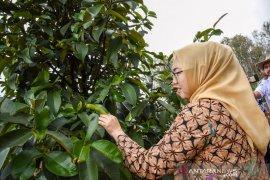 Festival Manggis Purwakarta untuk dongkrak kunjungan wisata