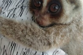 KPH Tabalong hands over protected slow loris to BKSDA