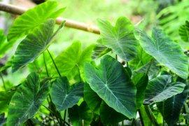 Ini manfaat konsumsi daun talas