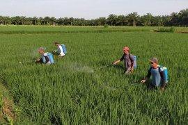 Distan Mukomuko bantu atasi hama padi