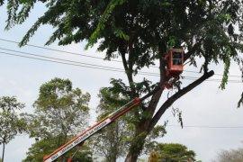 Pemkot Jambi pangkas pohon tua yang membahayakan warga