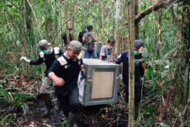Tiga orangutan dipindahkan ke kwasan Taman Nasional Gunung Palung