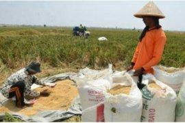 Jelang Ramadhan, stok pangan beras aman di HSU walau di tengah wabah Covid 19